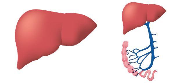 Il fegato è il principale protagonista del metabolismo lipidico